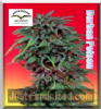 Dutch Passion Durban Poison Fem 10 Ganja Seeds